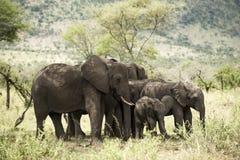 Herd of elephant, Serengeti, Tanzania Stock Images