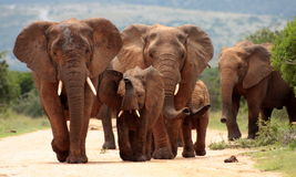 Herd of Elephant in South Africa. A herd of elephant walk towards the camera with all of them moving their trunks and smelling me. Taken in Addo Elephant stock photo