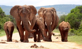 Herd of Elephant in South Africa. A herd of elephant walk towards the camera with all of them moving their trunks and smelling me. Taken in Addo Elephant royalty free stock photos