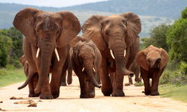 Herd of Elephant in South Africa. A herd of elephant walk towards the camera with all of them moving their trunks and smelling me. Taken in Addo Elephant Royalty Free Stock Photo