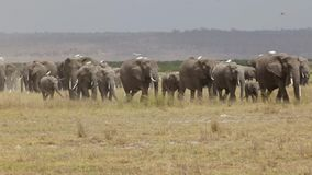 Herd of elephant walking across dusty plains in Amboseli National Park. stock footage