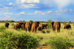 Herd of elephant walking away. Into the distance in the African Bush royalty free stock photography
