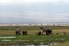 A herd of elephants. In Amboseli National Park Stock Photos