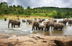 Herd of Elephants. A herd of Asian Elephants cross a large river royalty free stock photo