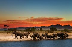 Herd of elephants. In african savanna at sunset Stock Photos