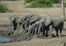 Herd of Elephants. A herd of elephants in the wild in Chobe park, Botswana, Africa Stock Photos