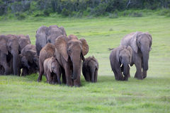 Herd of Elephants. A herd of Elephants walking towards the camera, Addo Elephant National Park Stock Photos