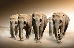 Herd of elephants. Photo of a herd of elephants in motion Stock Photography