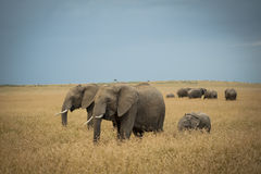 Herd of elephants. With young calf walking on Masai Mara, Serengeti National Park, Kenya Stock Photography