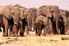 Herd of Elephants. A big herd of African elephants in Chobe National Park, Botswana, Southern Africa Royalty Free Stock Images