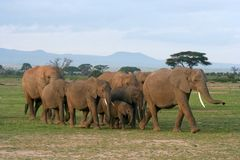 Herd of Elephants. A herd of elephants of various ages walking across the grass Stock Photos