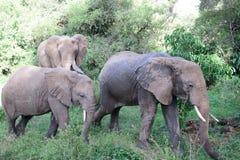 Herd of elephants Stock Photos