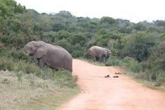 Herd of  Elephants Stock Photo