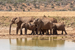 A herd of elephants in Addo Safari Park. A herd of elephants at a waterhole in the Addo National Park near Port Elizabeth, South Africa stock photos