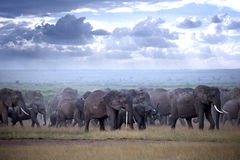 Herd of elephants  on african savannah Royalty Free Stock Images