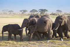 Herd of elephants on african savannah Stock Photography