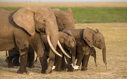 Herd of Elephants in Amboseli, Kenya. Herd of Elephants in Amboseli National Park, Kenya Royalty Free Stock Images