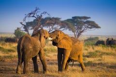 Herd of elephants in Amboseli  National Park Kenya Royalty Free Stock Photography