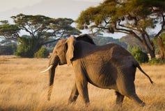 Herd of elephants in Amboseli  National Park Kenya Royalty Free Stock Image