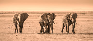 Herd of elephants in Amboseli National park Kenya stock image