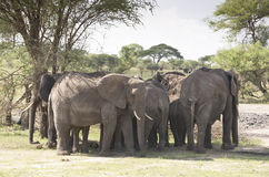 The herd of elephants in the Baobab s Shadow Stock Image