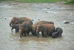 Herd of elephants bathing in the river royalty free stock photos