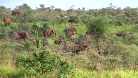 A Herd of Elephants in the Bush. A Herd of Elephants in the Beautiful Landscape of the Green Bush in Uganda, East Africa stock footage