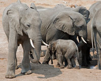 Herd of elephants and a calf trying to get a drink from waterhole Stock Photos