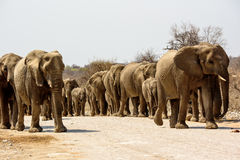 Herd of elephants in close proximity. Family group of elephants approaching Stock Image