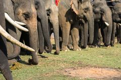 A herd of elephants closeup. Asia elephant.  Royalty Free Stock Photo