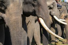A herd of elephants closeup. Asia elephant.  Royalty Free Stock Photo