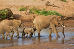 Herd of elephants. Crossing river Stock Photography