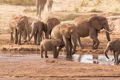 Herd of elephants. Crossing river Stock Image