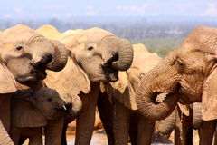 Herd of elephants drinking. These elephants were having a drink near a waterhole Royalty Free Stock Images
