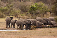 Herd of elephants drinking Stock Images