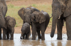 A herd of elephants drinking water. A breeding herd of African bush elephants drink from a waterhole in the Kruger National Park, South Africa stock photos