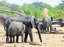 Herd of elephants on the dry african plains, throwing dust over themselves to keep cool stock image