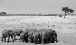 Herd of Elephants on the dry plains in Hwange Royalty Free Stock Images