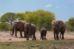 Herd of elephants Royalty Free Stock Photos