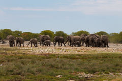 Herd of elephants Royalty Free Stock Photo