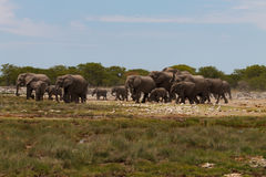 Herd of elephants Stock Image