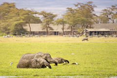 Herd  of elephants feeding in swamp Stock Photo