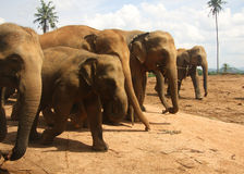 Herd of elephants going in rank. 5 elephants going in rank (row; line). One of them is smaller (calf royalty free stock photography
