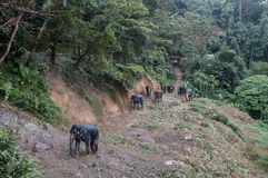 Herd of elephants going for a walk in the jungle Royalty Free Stock Images