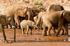 Herd of Elephants. Going for water in Kenya Royalty Free Stock Image