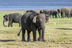 A herd of elephants graze next to the tank man-made reservoir at Minneriya National Park in the late afternoon. royalty free stock photography