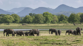 A herd of elephants graze next to the tank or man-made reservoir at Minneriya National Park in Sri Lanka. Royalty Free Stock Photos