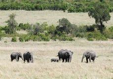 A herd of elephants grazing Stock Photos