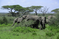 Herd of elephants grazing in grasslands of Africa Stock Image