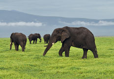 Herd of elephants grazing in the Ngorongoro Crater Stock Images